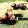 chestnut-472238_1280