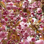 japanese-cherry-trees-6835_1280