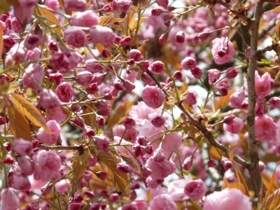 japanese-cherry-trees-6835_1280
